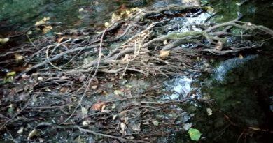 De l'or sous un tapis de racines d'un arbre au bord d'une rivière